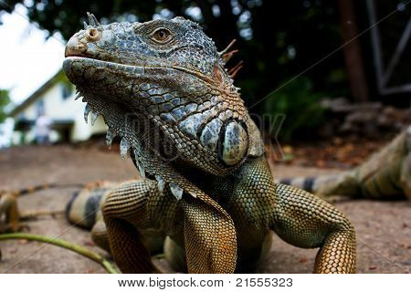 Profile of a Green Iguana