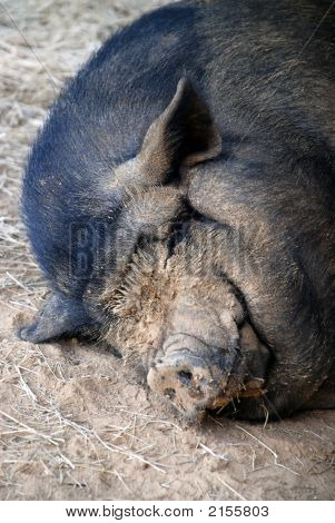 Muddy Faced Pot Bellied Pig