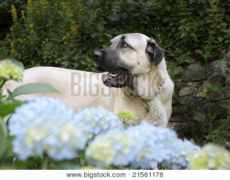 Cão de pastor da Anatólia