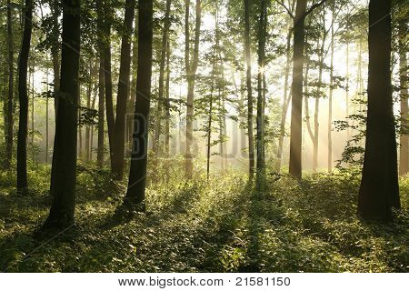 Misty deciduous forest at dawn