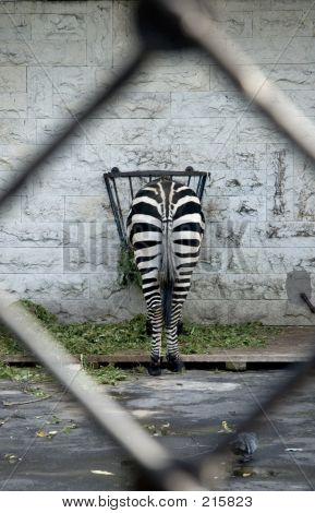 Zebra - The Rear View