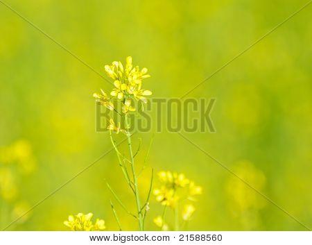 Gelbe Blume von Gemüse in thailand