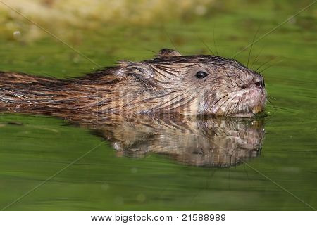 Muskrat swimming in river