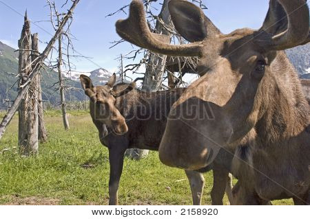 Extreme Moose Closeup