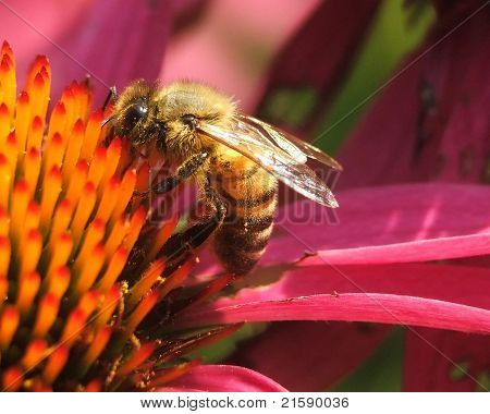 honeybee on purple coneflower