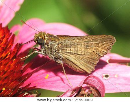 dun skipper butterfly on purple coneflower