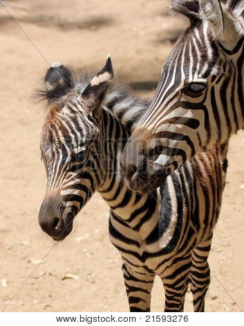 A Baby Zebra Stands With His Mother