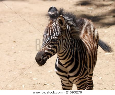 A Baby Zebra Stands In An African Desert