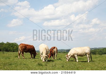 Grazing Beef Cattle