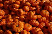 pic of jack-o-laterns-jack-o-latern  - Close up of small pumpkins at harvest time - JPG