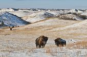stock photo of aurochs  - Wild Buffalo in Theodore Roosevelt National Park - JPG