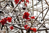 Ripe Viburnum On A Branch Under The Snow In Winter poster