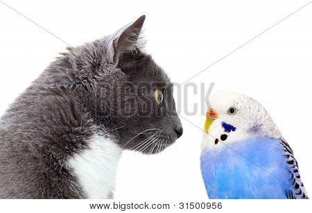 Grey Cat With Blue Budgerigar.
