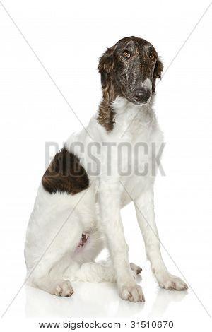 Russian Borzoi Puppy (5 Months)