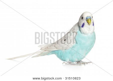 Blue Budgie On A White Background