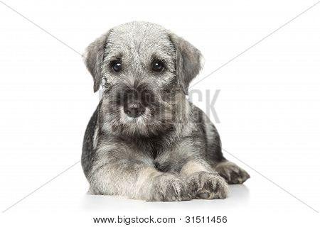 Standard Schnauzer Puppy On White
