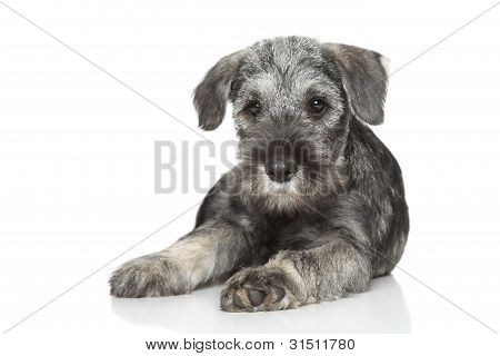 Standard Schnauzer Puppy On White