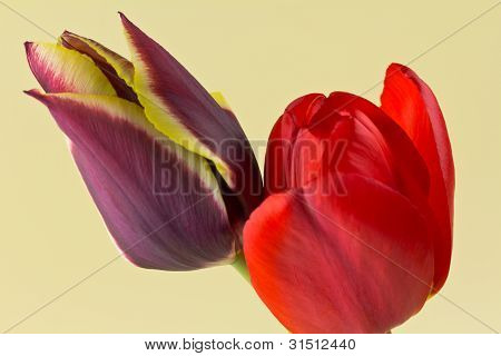 Pair Of Tulips