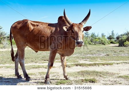 Vaca Cebú