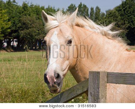 Horse Palamino Portrait