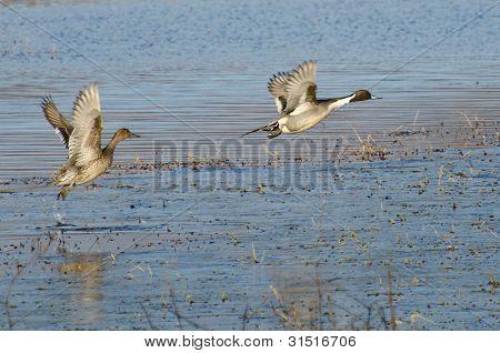 Macáes Norte tendo ao vôo fora da água