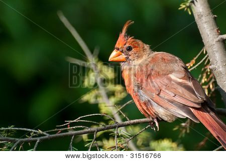 Molting Northern Cardinal