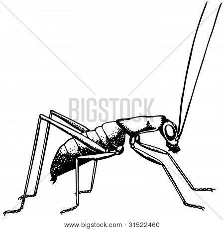 Katydid ropterinae