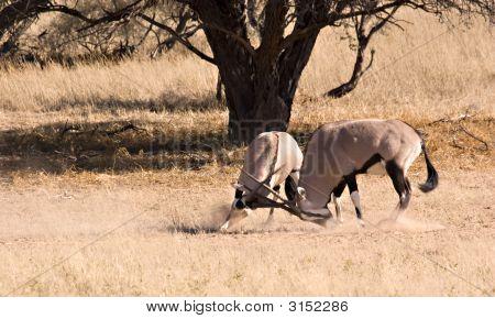 Two Fighting Gemsbok
