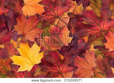 poster of Amazing Colorful Background Of Autumn Maple Tree Leaves Background Close Up. Multicolor Maple Leaves