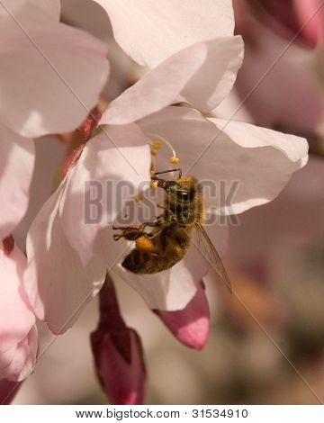 Bee Exploring A Cherry Blossom