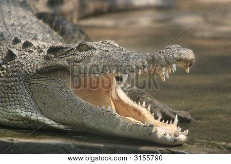 Close up crocodile head with open mouth