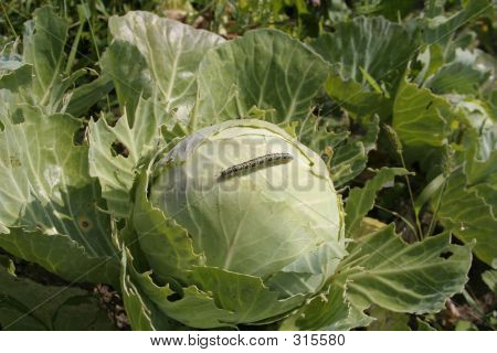 Worm On A Cabbage
