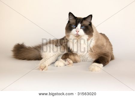 Seal point, Ragdoll Cat