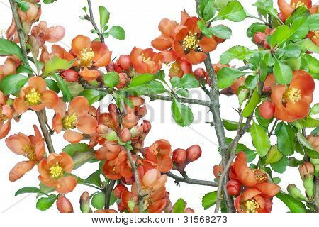 Japanese Quince (chaenomeles) Background