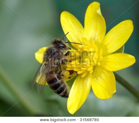 Worker Bee On Yellow Flower