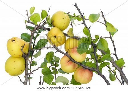 Yellow Japanese Quince Branches