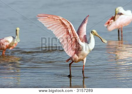Roseate Spoonbill Drying His Wings