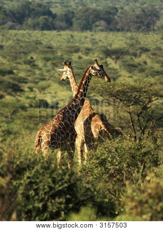Two Reticulated Giraffe