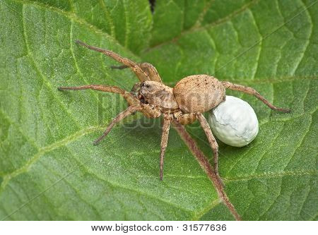 Wolf Spider Carrying Egg Case