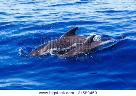 Mother and calf pilot whale swimming