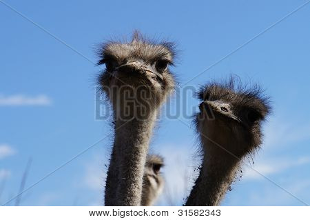 On an ostrich farm-2
