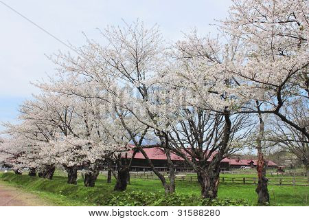 Cherry Blossom In Touhoku