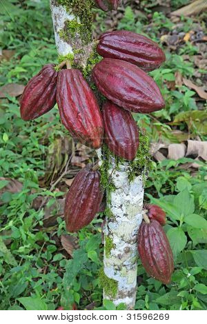 Multiple Pods Of Arriba Cacao