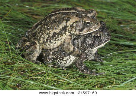Fowler Toads Mating On Damp Green Grass