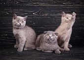 Scottish Straight And Scottish Fold Kittens. Miles Are Fluffy Kittens poster
