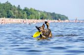 The Gulf Of Finland. Young Energetic Half-breed Dog Is Jumping Over Water. Doggy Is Playing With Rub poster