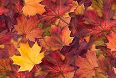 Amazing Colorful Background Of Autumn Maple Tree Leaves Background Close Up. Multicolor Maple Leaves poster