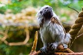 Beautiful Closeup Portrait Of A Cotton Top Tamarin Monkey, Critically Endangered Animal Specie, Trop poster