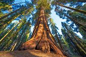 Famous Sequoia park and giant sequoia tree at sunset. poster