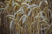 Ripe Wheat Ears In A Field. Wheat Field.ears Of Golden Wheat Close Up. Background Of Ripening Ears O poster